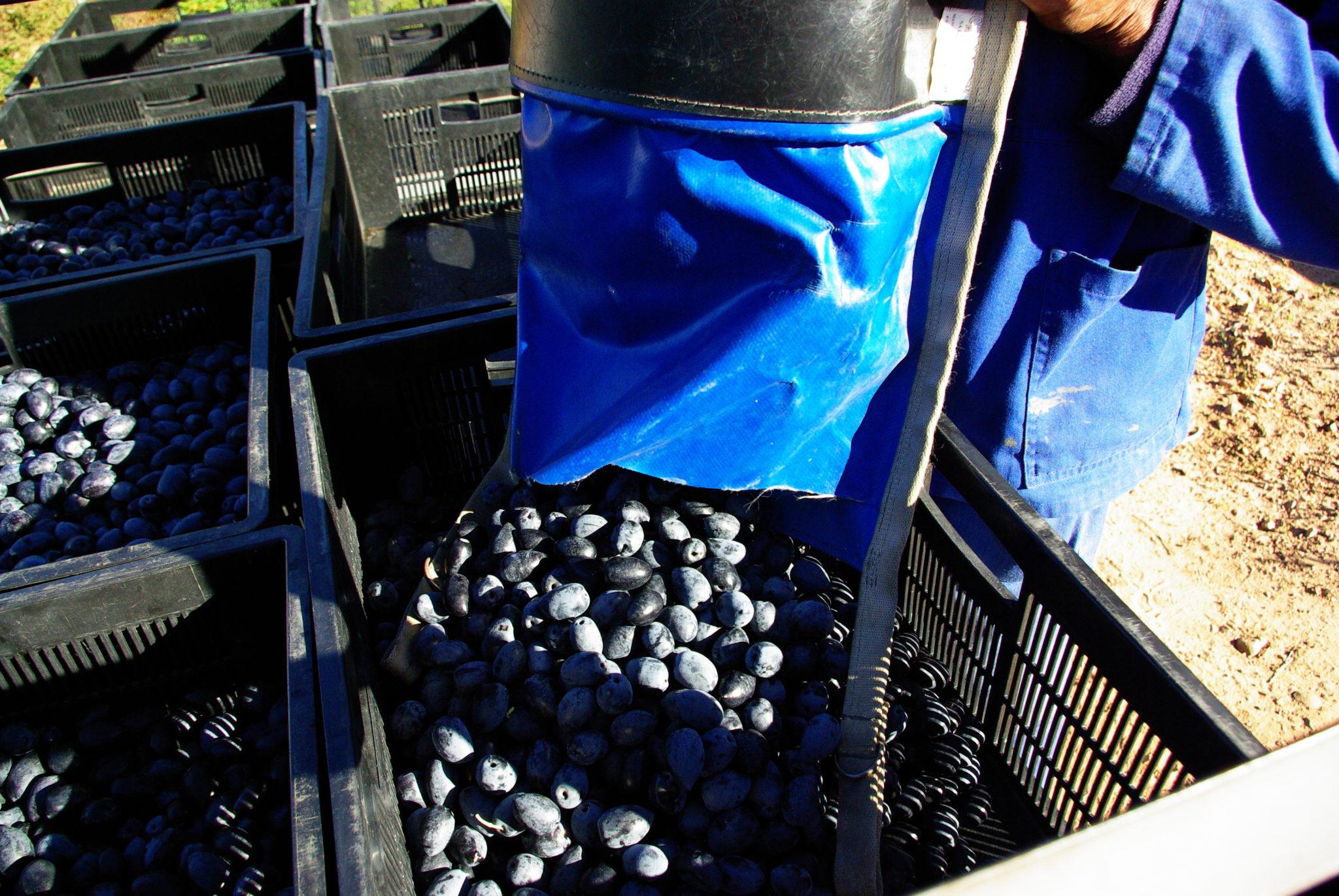 Oakhurst Olives Picking Carts