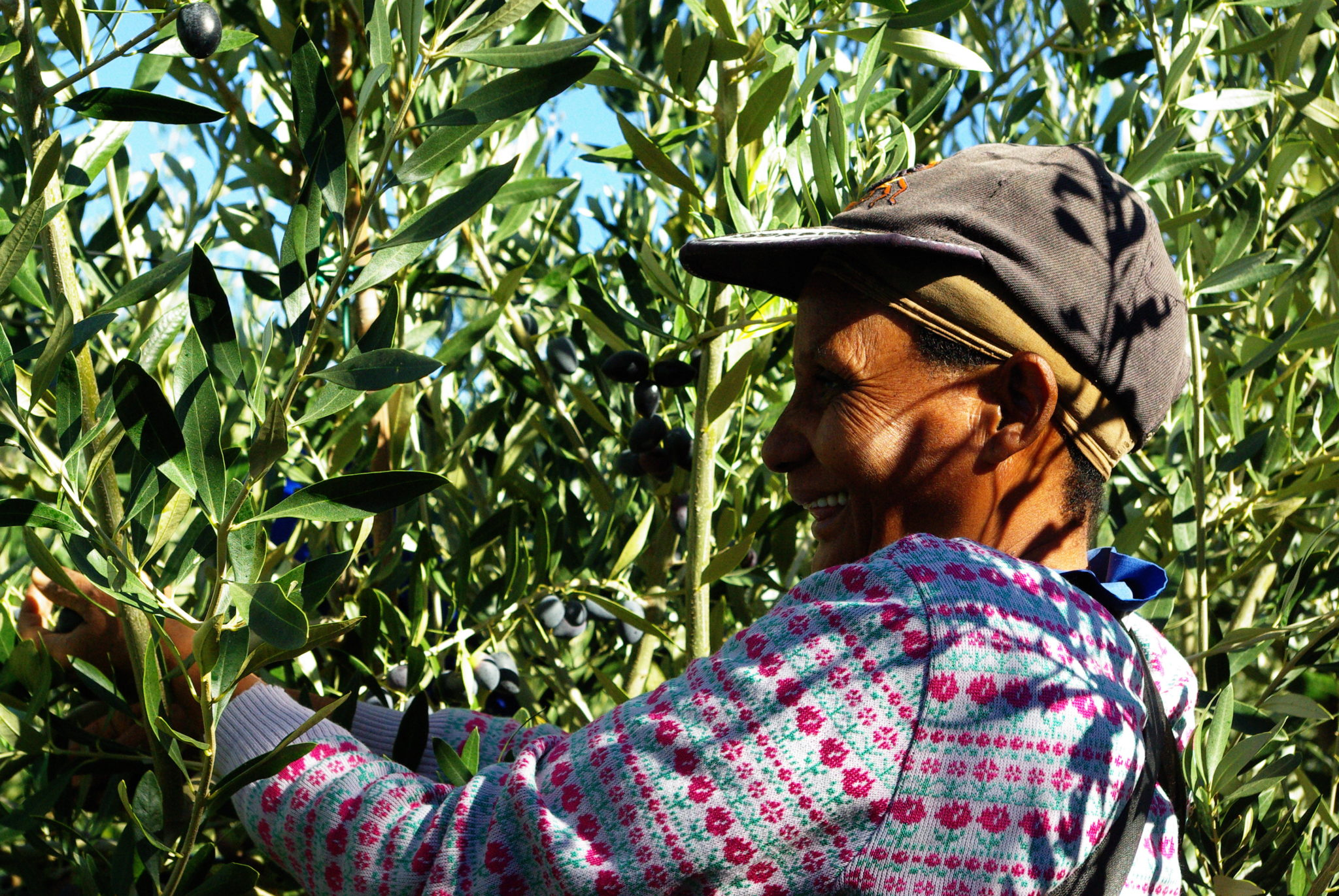 Oakhurst Olives Picking