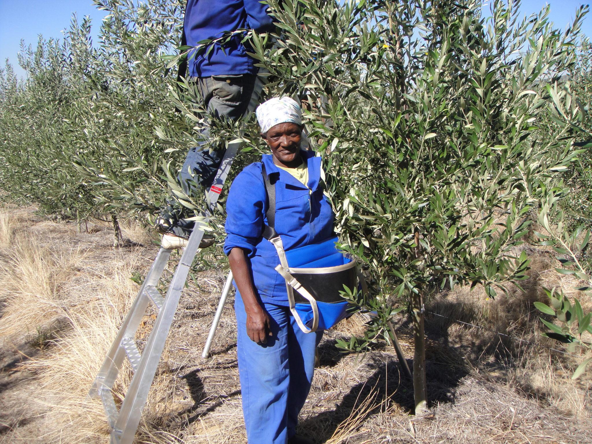 Olive Picking Oakhurst Olives
