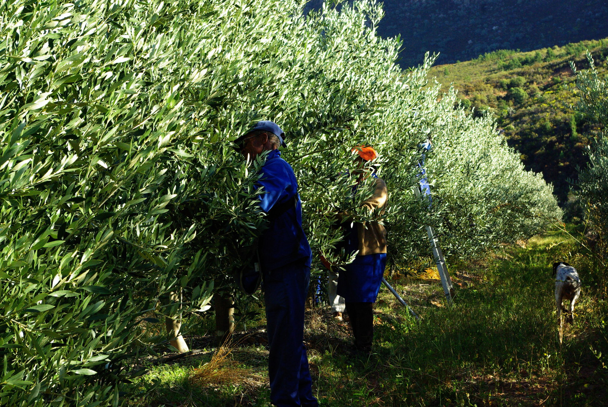 Olives Picking Oakhurst Olives